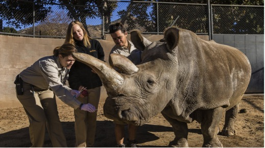 Nola, the female northern white rhino, with several of her keepers at the San Diego Zoo Safari Park last year. She died Sunday, leaving only three of her species in the world. (San Diego Zoo Safari Park / Ken Bohn)